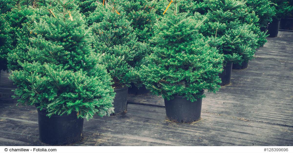 Weihnachtsbaum Schwerte.Miet Weihnachtsbäume Mission Auf Dem Holzweg